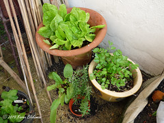 March 30th, 2019 Salad corner (karenblakeman) Tags: cavershamgarden caversham uk food vegetables herbs lettuce celery frenchsorrel rosemary pots march 2019 2019pad reading berkshire