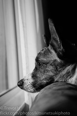 Ravi Window 2 (Kenjis9965) Tags: cardigan welsh corgi sony a7iii a7 mark iii nex ilce7m3 carl zeiss 35mm f28 sonnar window watching looking puppy relaxing pupper doggo stumper stumpy sel35f28z sonnar3528za sonnartfe2835