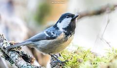 "Proud ! - Uhke Tihane ! (Igor ""Ixa"" Nael) Tags: tihane lind tits musttihane periparusater coaltit canon tannenmeise nature animals wild makrofoto makro bird"