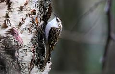 Treecreeper. (Chris Kilpatrick) Tags: chris canon canon7dmk2 outdoor wildlife nature sigma150mm600mm sigma bird animal treecreeper signsofspring springwatch edinburgh botanicgardens scotland march