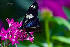 *** (mariola aga) Tags: flowers butterfly closeup garden nature natureinfocusgroup