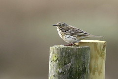 Meadow Pipit-7D2_2878-001 (cherrytree54) Tags: corn bunting canon sigma 7d 150600 rye harbour east sussex