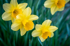 Daffodils (John Brighenti) Tags: flower flowers bloom petals stamen pistol spring smell fragrant vibrant colorful bokeh blur depthoffield march springtime weather nice beauty beautiful plant sony alpha a7rii ilce7rm2 tamron 2875mm zoom wide angle bealpha sonyshooter twinbrook rockville maryland md nature growth green yellow daffodil