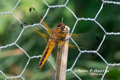 SCARCE-CHASER-DRAGONFLY-27-5-18-RSPB-STRUMPSHAW-FEN-(1) (Benn P George Photography) Tags: rspbstrumpshawfen 27518 bennpgeorgephotography rspb scarcechaser dragonfly chaser nature fens norfolk norwich nikon nikond7100 nikon200500 d7100