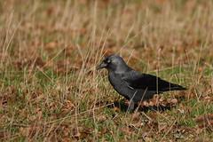 Jackdaw (yvonnepay615) Tags: panasonic lumix gh4 nature bird jackdaw holkham norfolk eastanglia uk