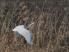 Great egret (Ardea alba, ダイサギ) (Greg Peterson in Japan) Tags: shiga japan wildlife birds yasu egretsandherons 滋賀県 野鳥 野洲市 ダイサギ shigaprefecture jpn