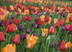 Beds of tulips (Shotaku) Tags: spring flowers bulbs tulip tulips multicolor massed flower bulb sheltergardens