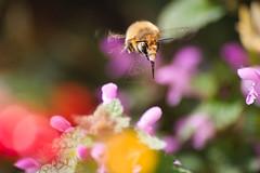 Gemeine Pelzbiene   Hairy-Footed Flower Bee (BMelzer Fotografie) Tags: canon canoneos750d pelzbiene anthophora nahaufnahme insekten natur nature macro insects bee insekt wildbiene