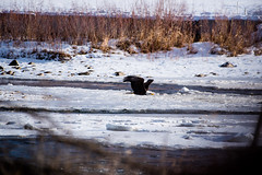 Bald Eagle Going Fishing (dan.clayton) Tags: inglewoodbirdsanctuary baldeagle canadagoose canada calgary bowriver
