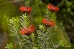 Pincushion Flower (Anna Calvert Photography) Tags: australia canberra flora floral flowers garden landscape macro macrophotography mygarden nature outdoors petals plants pincushion red