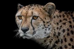 cheetah closeup (Wolf Ademeit) Tags: cheetah portrait head fur eyes bigcat predator zoo wildlife wolfademeit sony sigma
