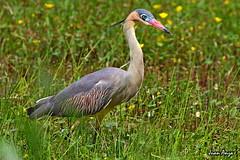 Whistling Heron (Juan Anza) Tags: birding birdwatcher birdwatching birdspics heron biomapampa biomamataatlântica animal animalpics animalphotography naturewatcher naturelover naturepics