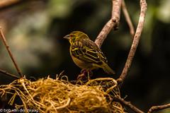 _DSC3282 (bob.vanderzwaag) Tags: bird yellow safari park nest
