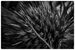 Spiky, 2019.01.23 (Aaron Glenn Campbell) Tags: flora flower thistle macro closeup detail knoxville knoxcounty tennessee bw blackandwhite nikcollection silverefexpro sony a6000 ilce6000 mirrorless fotodiox lensadapter nikon micronikkorauto55mmf35 converter primelens manualfocus