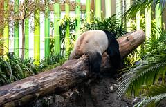 IMG_0419 (Scott Martin - Photographer) Tags: calgaryzoo calgary alberta canada ca animals panda bear zoo