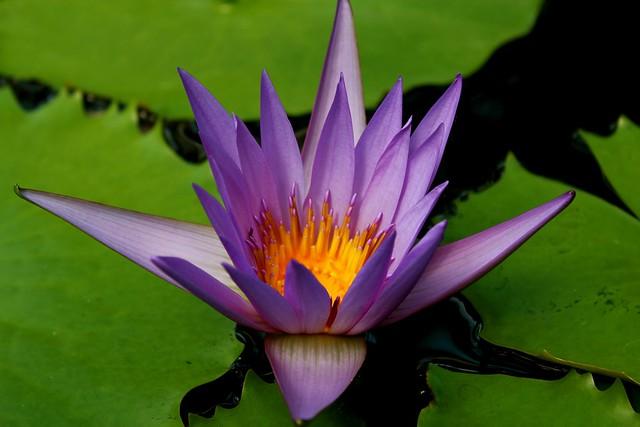 Обои Макро, Macro, Water lily, Водяная лилия, Фиолетовый цветок, Purple flower картинки на рабочий стол, раздел цветы - скачать