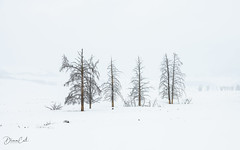 Trees on a snow canvas (Selectivebits) Tags: winter nationalpark yellowstone trees snow winterbeauty