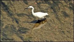 trasparenze (imma.brunetti) Tags: firenze toscana italia fiume acqua mugnone trasparenza animali aironi sgarzetta uccello zampe piume becco