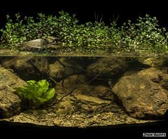 Biotope Aquarium, upper reaches of the Brisbane River Ipswich Queensland Australia. (jasonsulda) Tags: biotope aquarium brisbane river ipswich queensland australia aquatic plants creek stream ottelia alismoides ludwigia repens
