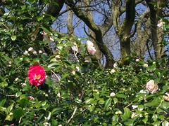 Winkworth Arboretum (Tony's Trains and Buses) Tags: winkworth arboretum spring nationaltrust camelia