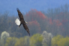 Eagles In The Cove (gatorinsc) Tags: bald eagle hampton cove alabama huntsville big spring bird flying 2019