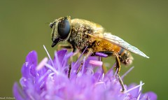 Schwebefliege Hoverfly (Andi Fritzsch) Tags: hoverfly schwebefliege fly fliege blume flowers flower flowercolors flowerpower flowerphotography insekten insect insectphotography nature naturephotography macrophotography macro closeup closeupphotography