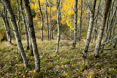 Aspen and birch (Tim Allott) Tags: woodlands trees leaves birch aspen october 2018 autumn lochinchwoodlands scotland