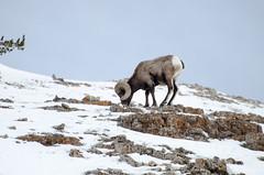 _DW64064.jpg (Upstate Dave) Tags: 2018 majorplaces mammals lamarvalley bighornsheep yellowstone yellowstonenationalpark places geographicname