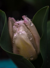 First Tulip (San Francisco Gal) Tags: tulip tulipa flower fleur bloom blossom macro raindrop jeweled