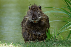 Funny Nutria : can you see my nice red teeth ? (Franck Zumella) Tags: myocastor coypu ragondin eau castor rat water lake lac nager swim nutria red orange rouge teeth tooth dent animal wildlife cold froid fun funny amusant no non nonono ok human behaviour omg oh god laugh rire song sing chanter chanson singer chanteur