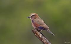 Purple Roller -8145 (Theo Locher) Tags: birds coraciasnaevius groottroupant oiseaux purpleroller vogels vögel zuidafrika southafrica krugernationalpark kruger copyrighttheolocher