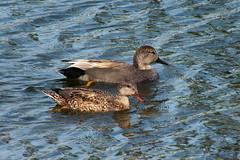 Gadwall (Jim Atkins Sr) Tags: gadwall anasstrepera duck dabblingduck fairfieldharbour northcarolina fujifilm hs30exr waterfowl