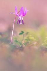 Bulle de pluie (Missy Karine) Tags: ngc nature expositionnaturelle erythrone 300mml canon canon7dmarkii canonfrance abigfave ain artistic fineart flower fleur picoftheday picture proxi macroflowerlovers macro light pink