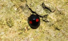7488 Chilocorus renipustulatus (jon. moore) Tags: denhamcountrypark buckinghamshire kidneyspotladybird chilocorusrenipustulatus coccinellidae coleoptera