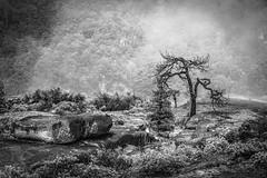 Mariposa, California (paccode) Tags: solemn california d850 forgotten landscape monochrome yosemite fog bushes nationalpark blackwhite creepy quiet scary serious tree yosemitenationalpark unitedstatesofamerica us