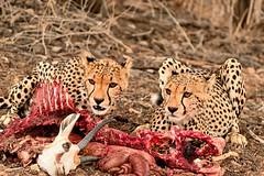 Cheetah finishing their springbok (Rob Keulemans) Tags: 2019 kgalagadi cheetah kill springbok eating copyright rob keulemans