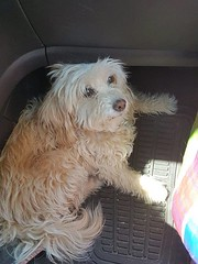 LOST female senior dog, shy, wearing a collar #springbankairport Pls share, watch help Tango get back home DO NOT CHASE Any info please call 403-286-5771 YYC Pet Recovery shared a post. Missing since March 29. Last seen in the Rocky Range View area behind (yycpetrecovery) Tags: ifttt march 31 2019 0111am