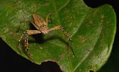 Lynx Spider, female (Hamadruas sp., Oxyopidae) (John Horstman (itchydogimages, SINOBUG)) Tags: macro china yunnan itchydogimages sinobug spider arachnid lynx oxyopidae