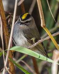 Splendor in the grass (Fred Roe) Tags: nikond810 nikkorafs80400mmf4556ged nikonafsteleconvertertc14eii nature wildlife birds birding birdwatching birdwatcher kinglet goldencrownedkinglet regulussatrapa peacevalleypark