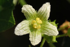 White Bryony - Bryonia dioica - Arundel WWT West Sussex (3) (Ann Collier Wildlife & General Photographer) Tags: whitebryony bryoniadioica arundelwwt westsussex wildflowers wildfowlwetlandstrust yellowflowers