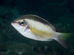 Pearly monocle bream (Scolopsis margaritifera)
