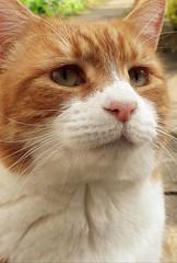 Bosco (merseymouse) Tags: cats pets animals kittys felines gingercats