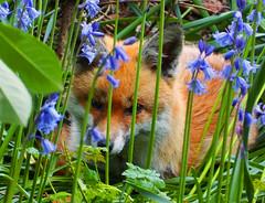 Fox (Nightsampler) Tags: fox gardenfox bluebells