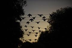 Pájaros en el alambre (Eneas) Tags: flock parvada aves atardecer sunset open vuelo libertad charade arteurbano art streetart colonia san rafael backlight