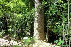 Red Cedar (Toona ciliata) (Poytr) Tags: corrimal illawarra subtropicalarf subtropicalrainforest rainforest forest wollongong nationalpark illawarraescarpmentstateconservationarea tallforest nsw australia arfp nswrfp illawarraescarpment jungle toona toonaciliata meliaceae