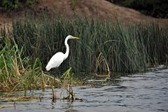 Great Egret (pbr42) Tags: africa uganda queenelizabethnationalpark nationalpark hdr water lake crater bird h2o kazinga kazingachannel animal egret greategret nature