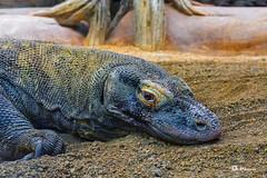 _VMG5223 (V.Maza) Tags: dragóndekomodo varano varanus varanuskomodoensis naturaleza naturalezaviva zoo barcelona catalunya spain nikon d7100 vicentemaza