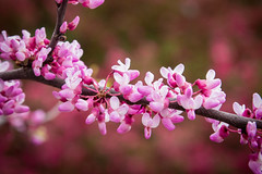 Redbud Bokeh (Thomas James Caldwell) Tags: colorful color red pink piurple white flowers tree branch nature spring pennsylvania beautiful pretty