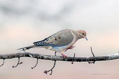 Mourning Dove (mjohnsonpics) Tags: 150600mm f563 dg os hsm | contemporary 015 dove bird sigma canon beautiful nature