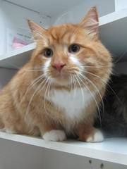 Korma - 1 and a half year old neutered male